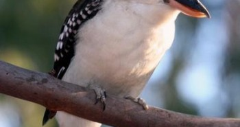 Kookaburra Song - Lyrics and Melody - Children's Songs