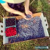 Paul Mazza Blueberry Picking